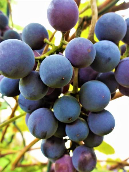 Photograph - Blue Grapes by Cristina Stefan