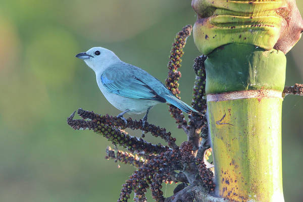 Blue Marlin Photograph - Blue-gray Tanager Tropical by Marlin and Laura Hum