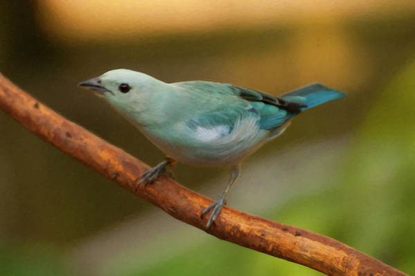 Photograph - Blue-grey Tanager Digital Oil  by Chris Flees