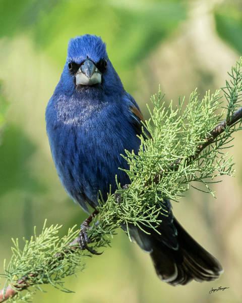 Wall Art - Photograph - Blue Grosbeak by Jurgen Lorenzen