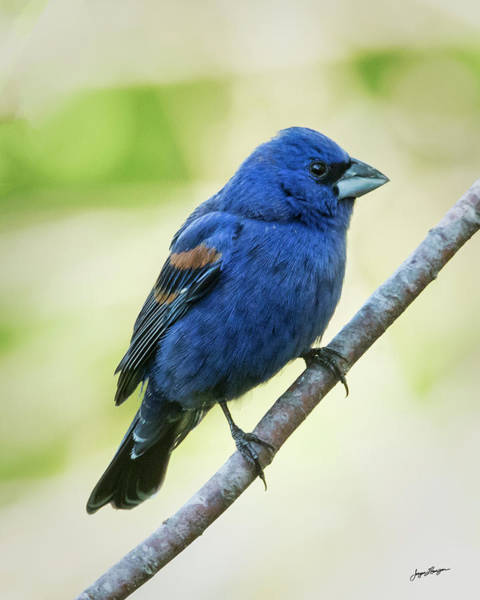 Wall Art - Photograph - Blue Grosbeak Profile by Jurgen Lorenzen