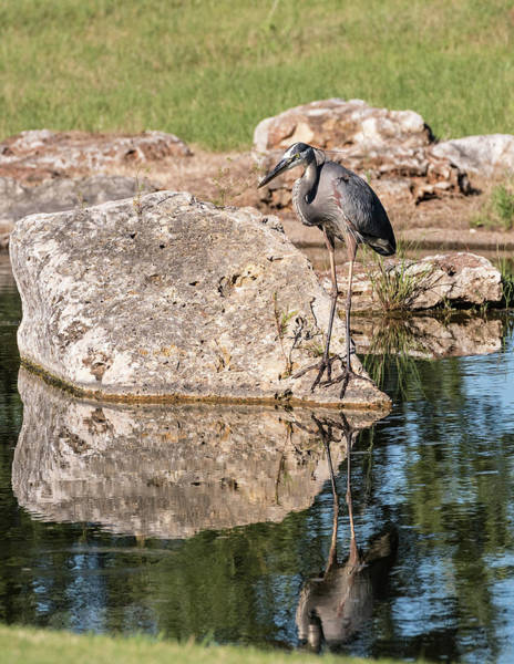 Photograph - Blue Heron 2 by John Johnson