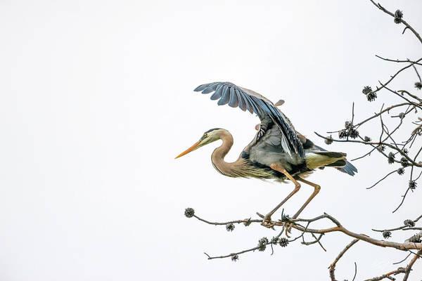 Photograph - Blue Heron 4 by Leland D Howard