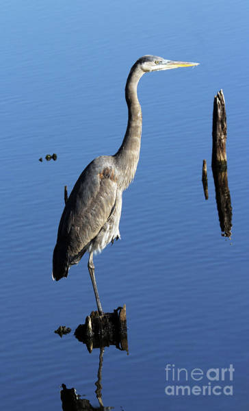 Photograph - Blue Heron At Woody Pond by Jennifer Robin