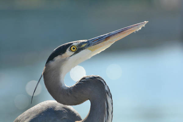Photograph - Blue Heron Bokeh 2 by Fraida Gutovich