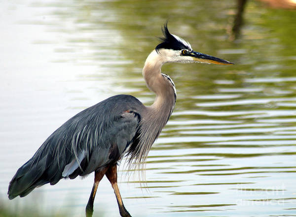 Photograph - Blue Heron by Clayton Bruster