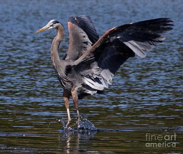Photograph - Blue Heron Dance by Sue Harper