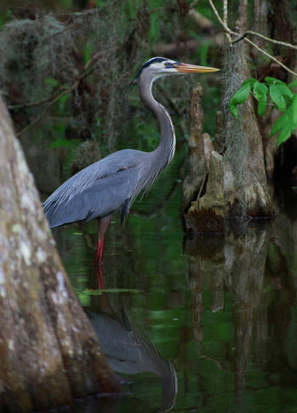 Photograph - Blue Heron by Dillon Kalkhurst