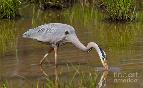Photograph - Blue Heron Fishing 2 by Kevin McCarthy