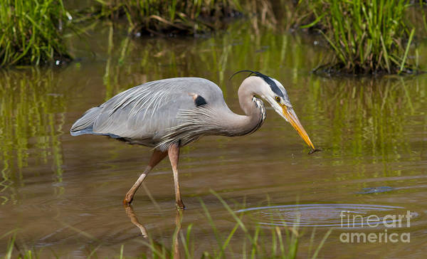 Photograph - Blue Heron Fishing 3 by Kevin McCarthy