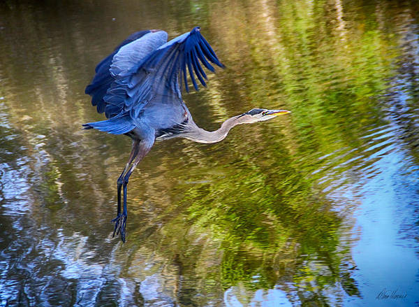 Photograph - Blue Heron Flying by Diana Haronis