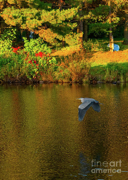 Photograph - Blue Heron Flying Over A Lake by Les Palenik