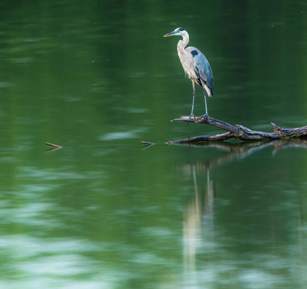 Photograph - Blue Heron Gentle Reflection by Dan Sproul