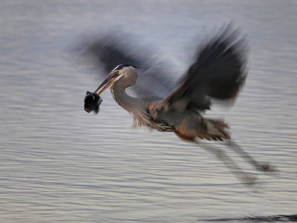 Photograph - Blue Heron Ghosting by Charles McKelroy