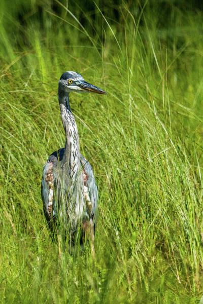 Wall Art - Photograph - Blue Heron In A Marsh by Paul Freidlund