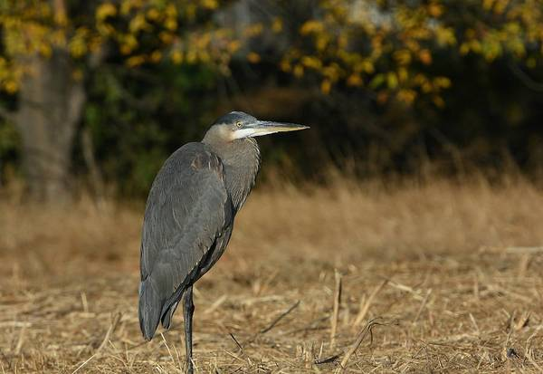 Photograph - Great Blue Heron In Autumn by Fraida Gutovich