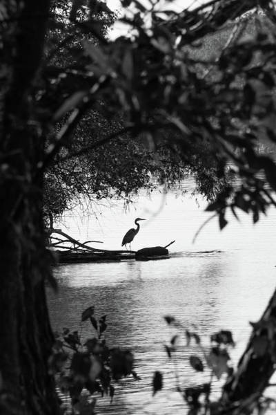Photograph - Blue Heron In Black And White. by John Benedict