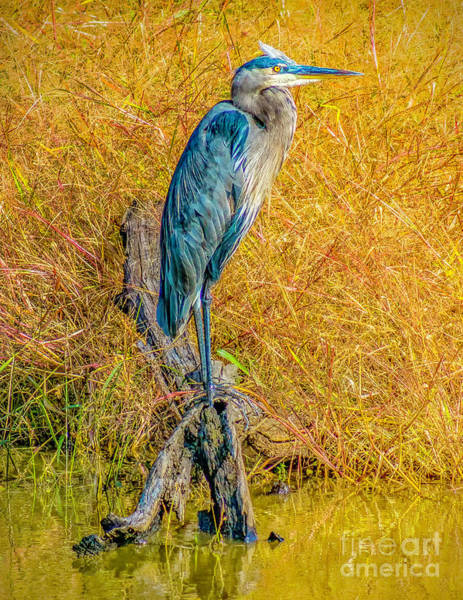 Photograph - Blue Heron In Blackwater by Nick Zelinsky