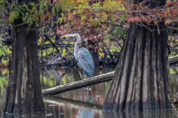 Wall Art - Photograph - Blue Heron In Cypress Swamp by Paul Freidlund