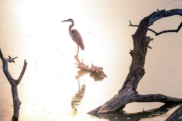 Photograph - Blue Heron In Morning Rain by Dan Sproul
