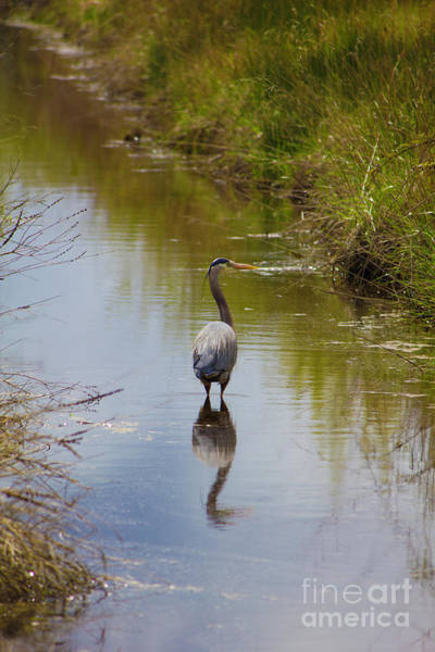 Photograph - Blue Heron In Stream 2 by Donna L Munro