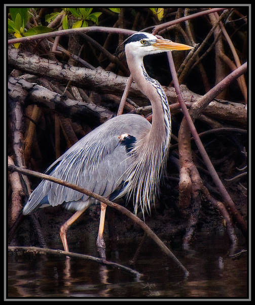 Photograph - Blue Heron In The Mangroves by Ginger Wakem