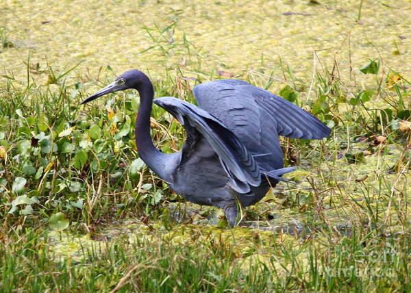 Little Blue Heron Photograph - Blue Heron In The Marsh by Carol Groenen