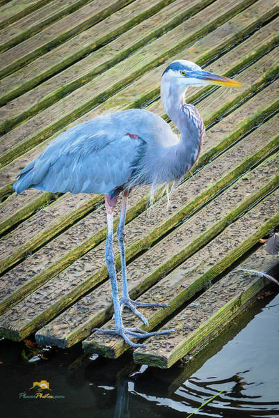 Photograph - Blue Heron by Jim Thompson