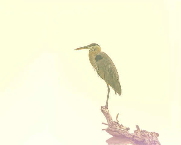 Photograph - Blue Heron Minimalism by Dan Sproul