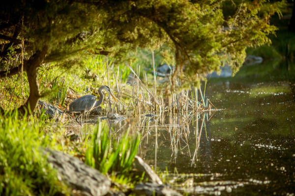 Photograph - blue heron on Pond Edge by Chris Bordeleau