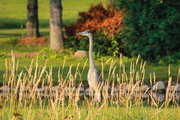 Photograph - Blue Heron On The Horizon by Viviana  Nadowski