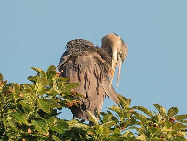 Photograph - Blue Heron Preening by Loree Johnson