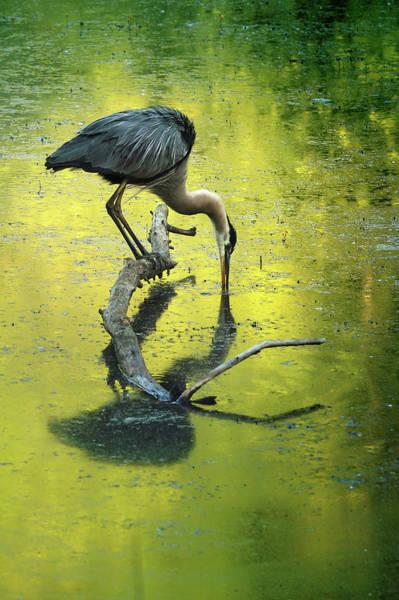 Wall Art - Photograph - Blue Heron Reflection by Rob Blair