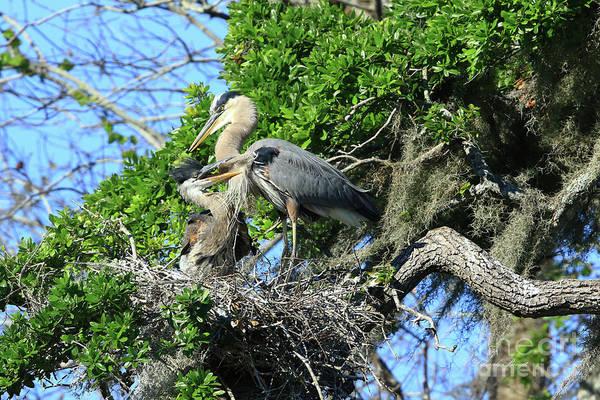 Photograph - Blue Heron Series Baby 1 by Deborah Benoit
