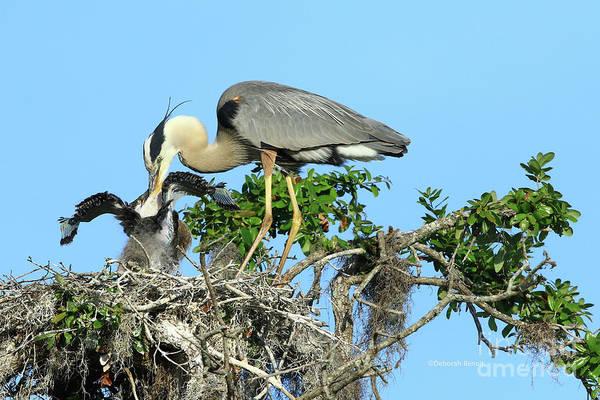 Photograph - Blue Heron Series Feeding by Deborah Benoit