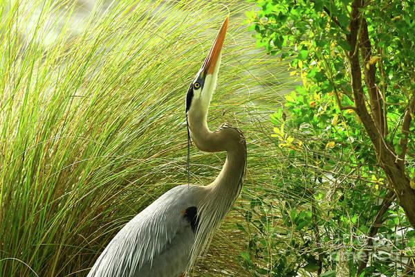 Photograph - Blue Heron Series Getting The Twig by Deborah Benoit