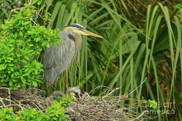 Photograph - Blue Heron Series Little Ones by Deborah Benoit