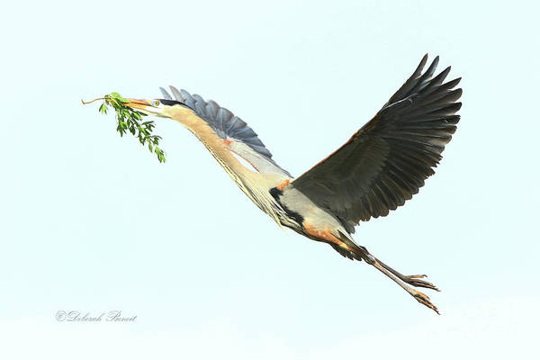 Photograph - Blue Heron Series Twig 2017 by Deborah Benoit