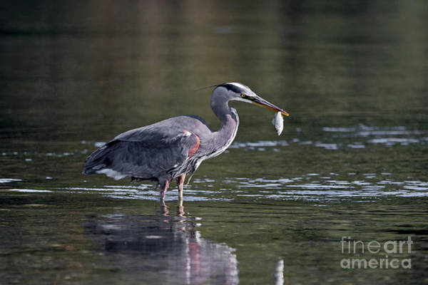 Painting - Blue Heron Snack by Sue Harper