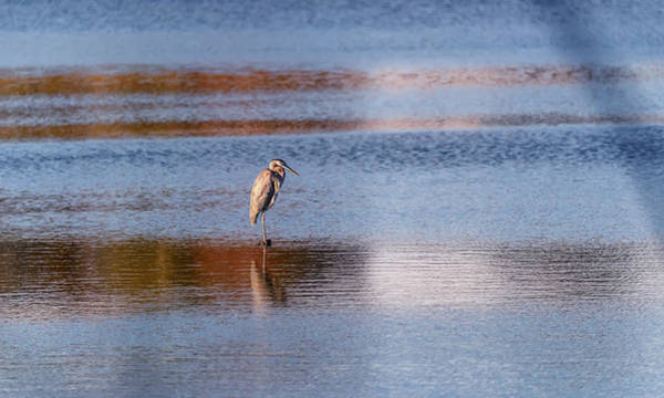 Photograph - Blue Heron Standing In A Pond At Sunset by Patrick Wolf