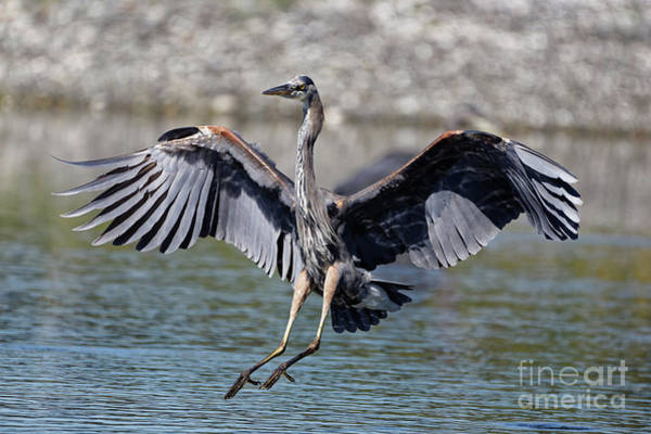 Photograph - Blue Heron Touch Down by Sue Harper