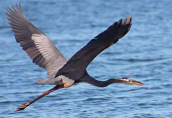 Photograph - Blue Heron Wingspan by Karl Ford