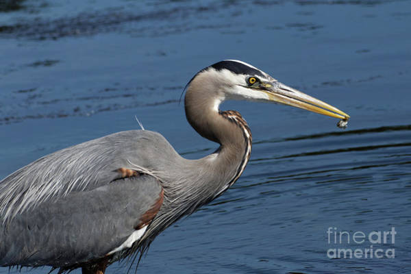 Painting - Blue Heron With Fish by Sue Harper