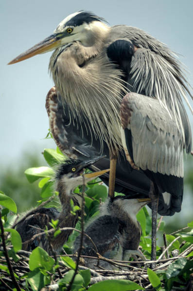 Photograph - Blue Heron With Offspring II by Wolfgang Stocker