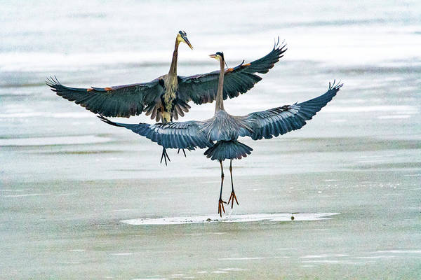 Photograph - Blue Herons by Norman Hall
