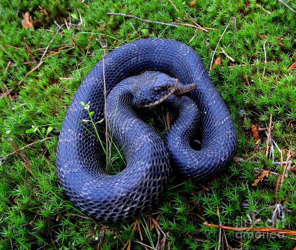 Eastern Hognose Snake Photograph - Blue Hognose by Joshua Bales