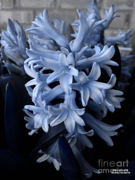 Photograph - Blue Hyacinth by Shelley Jones
