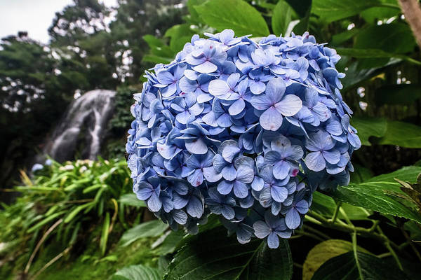 Photograph - Blue Hydrangea By Waterfall by Sven Brogren