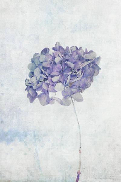 Photograph - Blue Hydrangea by Maria Heyens