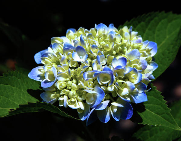 Photograph - Blue Hydrangea Onstage 2620 H_2 by Steven Ward